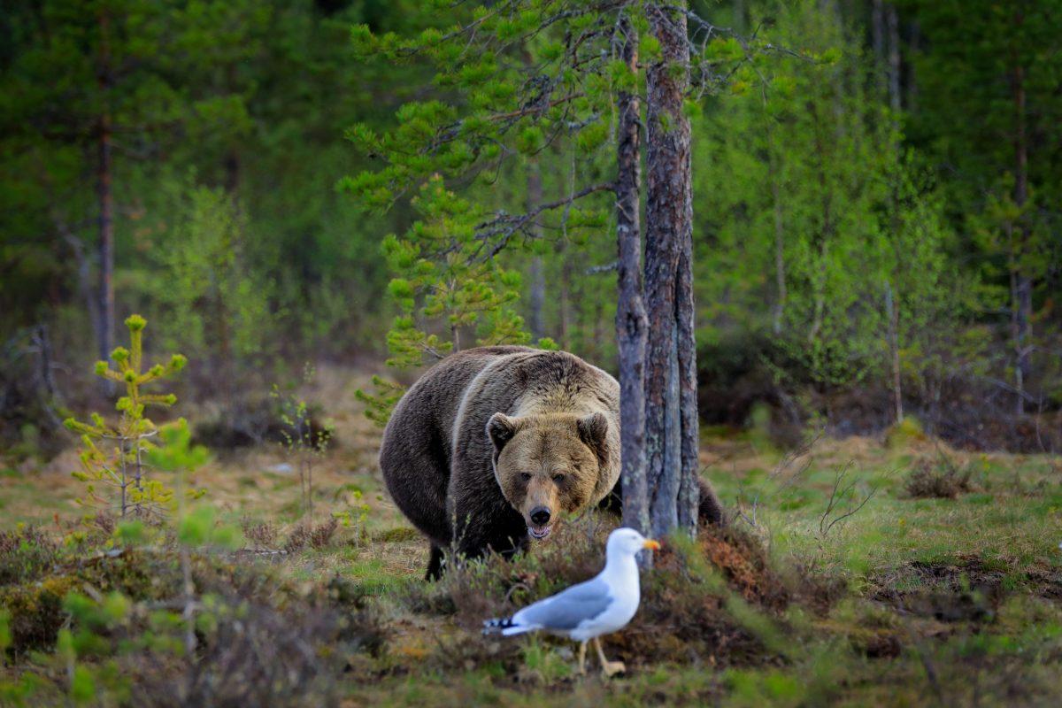 Orso nel bosco